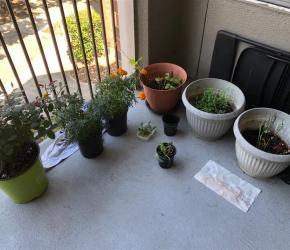 Avinash Kalagarla plants herbs on his patio, Houston, TX.